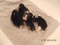 Sophia Puppies Born July 19th